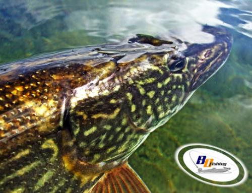 Como Pescar Lucios en Freza