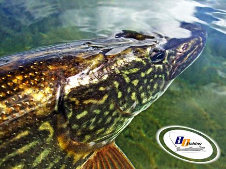 consejos para la pesca del lucio en freza