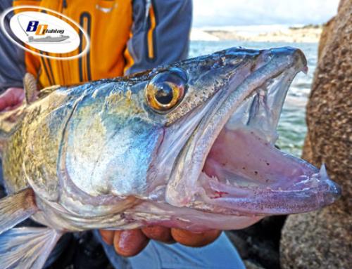 Pesca de Luciopercas en Freza